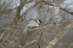 Chickadee landing