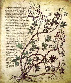 """Illustration d'un livre sur les plantes médicinales : la ronce ('Vienna Dioscorides' ou """"Discoride de Vienne)) VIe siècle"""