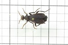 Black Blister Beetle, Order Coleoptera: Family Meloidae (Top) J. Cauthorn