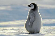Emperor Penguin (Aptenodytes forsteri) chick, Atka Bay, Antarctica