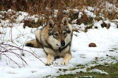 Perro Lobo Checoslovaco: constituye una raza canina muy inteligente que conserva muchas de las características del lobo de Carpatos