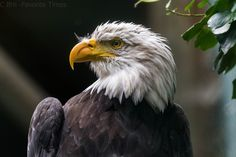 There's something on your beak - bald eagle