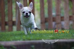 Chihuahuas Love - Revisión del Blog de Chihuahuas. Trabajos Internos de Este Blog.