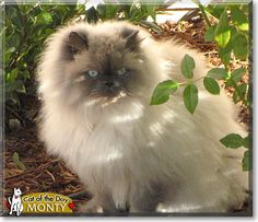Read Monty the Blue Point Himalayan's story from Santa Barbara, California and see his photos at Cat of the Day http://CatoftheDay.com/archive/2010/January/27.html .