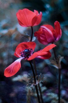 Red Anemone by Magda Wasiczek on 500px