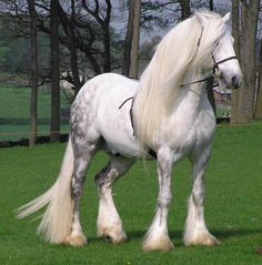 Fell Pony Stallion- the magnitude of a Fresian in a small package