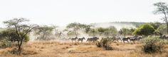 Zebras on the run the Serengeti