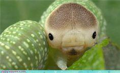 """CATERPILLAR from Ecuador - ©Inge Fauskanger quickwitter: """" ©Inge Fauskanger - cute insects """" Weird Insects, Bugs And Insects, Animals And Pets, Cute Animals, Baby Animals, Cool Bugs, Moth Caterpillar, Beautiful Bugs, Beautiful Butterflies"""