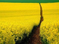 mustard field, germany