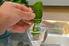 Christmas Cactus Cuttings: How to Grow Roots in Water   eHow