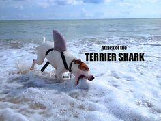 Attack of the Terrier Shark Dottie, the jack russell Terrier in a shark costume on florida Beach