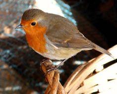 Cute Robin perched on edge of Basket Red Robin, Robin Bird, Robin Olds, Robin Pictures, European Robin, Robin Redbreast, British Garden, Bird Species, Autumn Inspiration