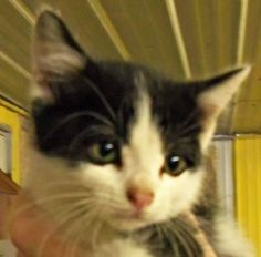 Carbon is an adoptable Domestic Short Hair Cat in Amory, MS. NEUTERED MALE UTD ON VACS DSH HI, MY NAME IS CARBON. I AM A 2 MONTH OLD NEUTERED MALE DSH. I AM UTD ON MY VACCINATIONS AND I HAVE BEEN WORM...