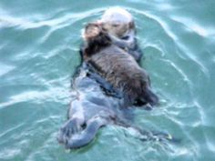 Baby Sea Otter and Mother - Capitola CA
