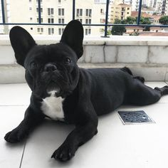 The major breeds of bulldogs are English bulldog, American bulldog, and French bulldog. The bulldog has a broad shoulder which matches with the head. French Bulldog Full Grown, French Bulldog Mix, French Bulldog Facts, White French Bulldogs, Cute Puppies, Cute Dogs, Dogs And Puppies, Doggies, Chihuahua Dogs
