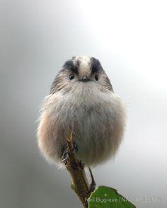 An extra fluffy bird :)