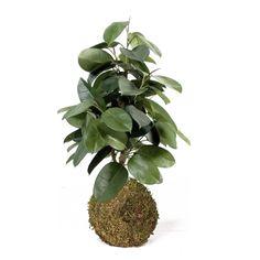 Kokedama Ficus Robusta