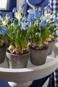 Landelijke aankleding van de tuin. Zet voor een landelijk effect een aantal potjes met blauwe druifjes op een dienblad. Bloemen Bureau Holland