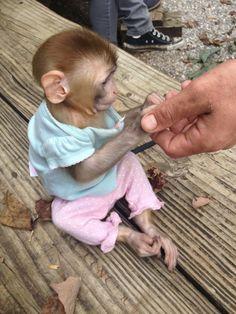 Cute monkey at Kentucky Down Under Zoo Pet Monkey For Sale, Monkeys For Sale, Cute Baby Monkey, Funny Animal Photos, Cute Funny Animals, Cute Baby Animals, Animal Pictures, Capuchin Monkey Pet, Macaque Monkey