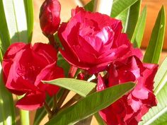 Leanderfa - G-Portál Rose, Flowers, Plants, Pink, Plant, Roses, Royal Icing Flowers, Flower, Florals