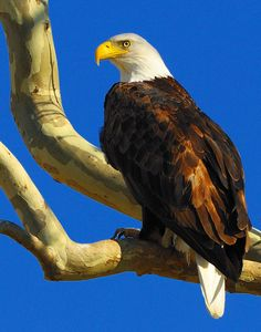 This article features eagle watches at state parks and lakes across Oklahoma! Seeing a bald eagle soar through the sky is a breathtaking sight you'll never forget.