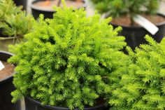 A globe-shaped to squat pyramidal dwarf spruce with light-colored twigs and widely-spaced green needles. Introduced by Greg Williams. Norway Spruce Tree, Shade Annuals, Picea Abies, Greg Williams, Plant Labels, How To Do Yoga, Botanical Gardens, Bonsai, Evergreen