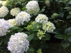 Witte hortensia #garden.