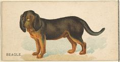 Beagle, from the Dogs of the World series for Old Judge Cigarettes, 1890. The Metropolitan Museum of Art, New York. The Jefferson R. Burdick Collection, Gift of Jefferson R. Burdick (63.350.214.163.32)