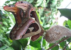 THE ATLAS MOTH HAS THE IMAGE OF A COBRA ON IT'S WINGS! ONLY AN INTELLIGENT DESIGNER COULD HAVE DONE THIS!