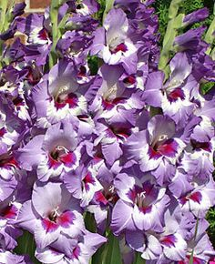 Vista Gladiolus  (Free Shipping)  (5 Bulbs)