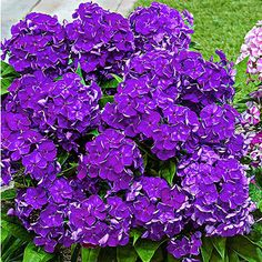 Provide timeless look to your living space by choosing this Spring Hill Nurseries Desire Bambini Garden Phlox, Live Bareroot Perennial Plant, Purple Flowers. Summer Bulbs, Purple Flowers, Perennial Bulbs, Landscaping Tips, Flower Landscape, Plants, Fragrant Flowers, Landscape, Perennial Plants