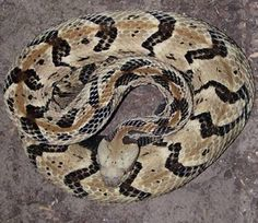 The Timber Rattlesnake (Crotalus horridus) is venomous.  Another nickname for it is the Canebrake rattlesnake.