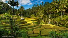 Tegallalang Rice Terraces in Ubud is famous for its beautiful scenes of rice paddies involving the subak (traditional Balinese cooperative irrigation system), which according to history, was passed down by a revered holy man named Rsi Markandeya in the eighth century. Tegallalang forms the three most splendid