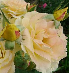 Peace Rose by Marlis1, via Flickr
