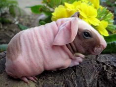 The Skinny Pig is an almost hairless breed of Guinea pig