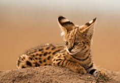 Serval Kitten, Massai Mara, Kenya
