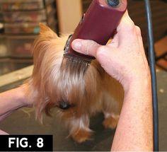 Yorkie: Short Trim | Groomer to Groomer – Pet Grooming News, Stories, and Videos