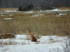 #926 D765 Salisbury State Reservation Fox
