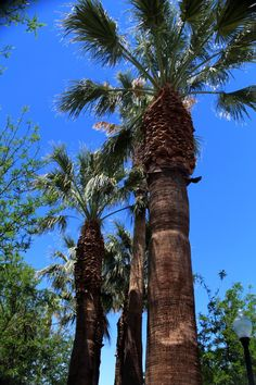 #PalmTrees located in old town #Barstow, #California.  #FilmBarstow www.FilmBarstow.com