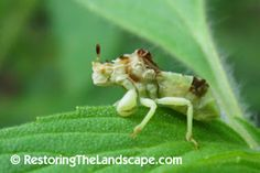 Jagged Ambush Bug ~ Phymata sp.