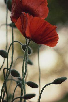 """araknesharem:  """" poppies at dusk by s@ssyl@ssy on Flickr.  """""""