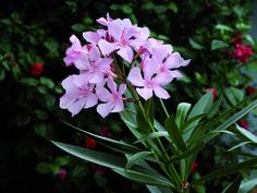 Oleandro rosa tenue