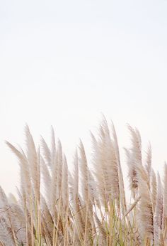 winter in california is part of Minimalist photography - Phone Backgrounds, Wallpaper Backgrounds, Wallpaper Plants, Iphone Wallpaper, Minimalist Photography, Pampas Grass, White Aesthetic, Cute Wallpapers, Aesthetic Pictures