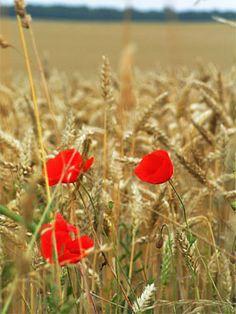 BLE, CAMPAGNE-IMAGE, Le motif vichy rappelant le pique-nique, me rappel l'endroit principale on l'on aime pique-niquer : les champs, la campagne