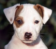 Jack Russell Terrier -  this guy looks just like my Skipper