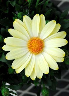Osteospermum 'FlowerPower Compact Lemon'   Log House Plants