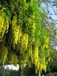 Yellow wisteria at Butchart Gardens, Victoria, B.C.--one of my favourite parts of the gardens!