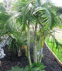 Dypsis Baronii. Sugar Cane Palm. #mywatergallery