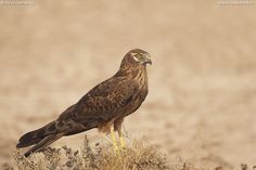 Montagu's Harrier | Circus pygargus by Vipul Ramanuj http://focusingonwildlife.com/news/wildfocus/featured/1_0-2/