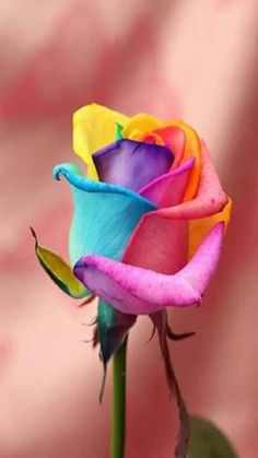 Fun everywhere - WhatsApp Group Invite Link Beautiful Rose Flowers, Rare Flowers, Love Rose, Amazing Flowers, Rose Images, Rose Pictures, Tie Dye Roses, Tattoo Sticker, Rainbow Flowers